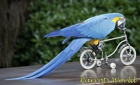 Попугай ара на велосипеде