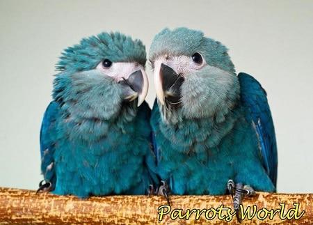 Птенцы голубого ары