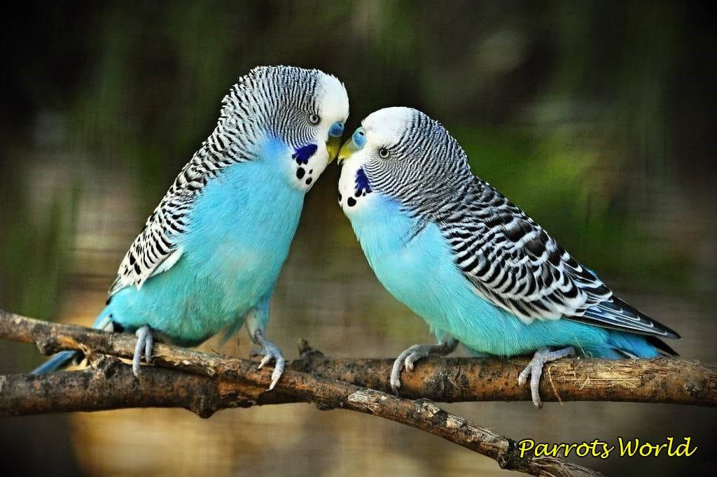 Сколько живут волнистые попугаи в домашних условиях и в дикой природе