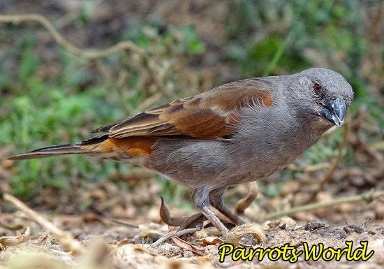 Воробьиный попугай