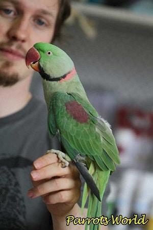 Ожереловый попугай с человеком
