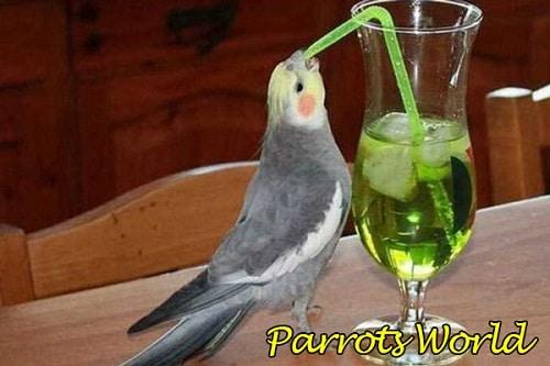 Корелла пьёт