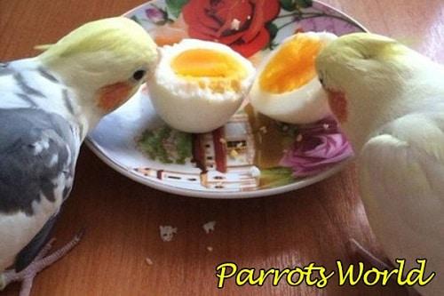 Кореллы едят яйца