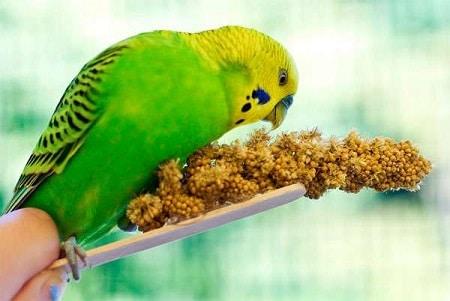 Попугайчик ест сенегальское просо
