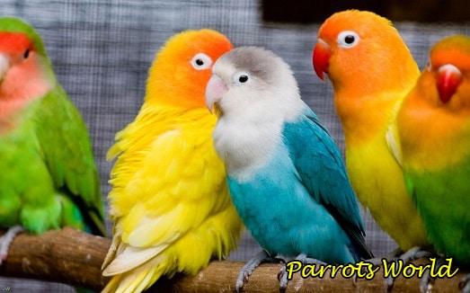 Выбираем имя попугаю: общие советы, список имён