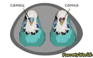 Как определить пол волнистого попугая: все методы определения пола