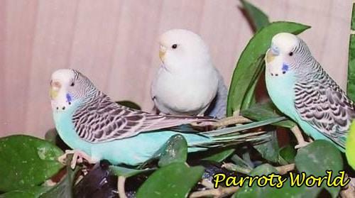 Уход и содержание волнистых попугаев в домашних условиях