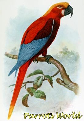Красный ямайский