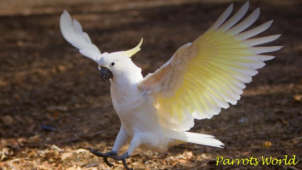 Попугай какаду: виды, ареал обитания, особенности