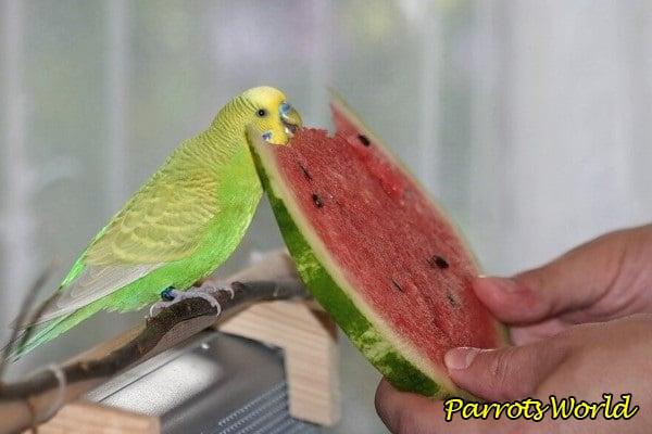 Какие фрукты, овощи, ягоды и зелень можно давать попугаю