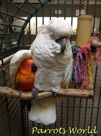 Попугай какаду с другом