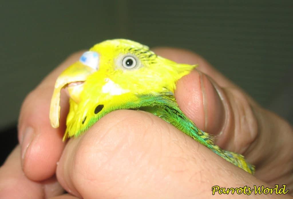 Как укоротить клюв попугаю в домашних условиях