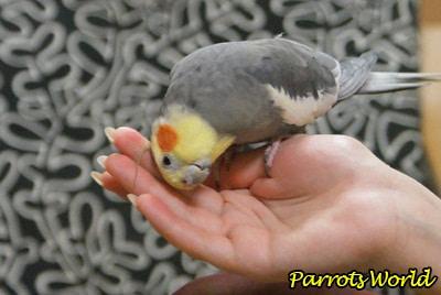 Как научить разговаривать попугая кореллу: особенности обучения