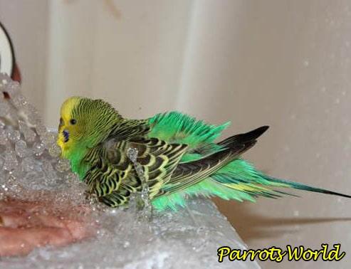 Как купать попугая: подготовка, процесс и приучение к купанию
