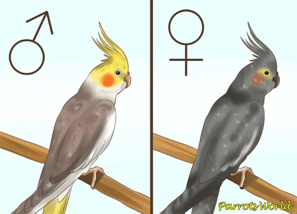 Как определить пол кореллы: методы определения пола