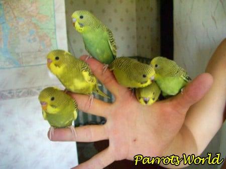 Как приручить попугая: основные способы приручения