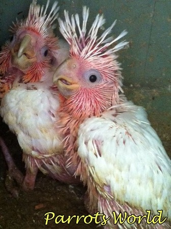 Птенцы какаду инка
