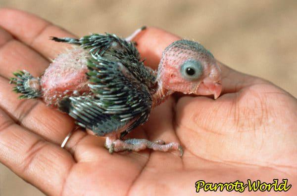 Попугай корелла: описание, ареал обитания, образ жизни, размножение