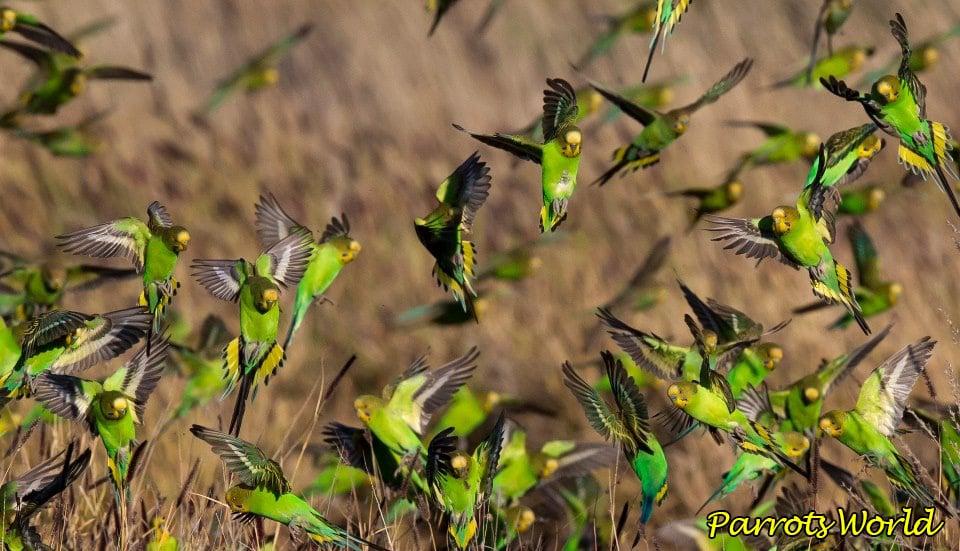 Волнистый попугайчик: описание, характеристики, жизнь в дикой природе