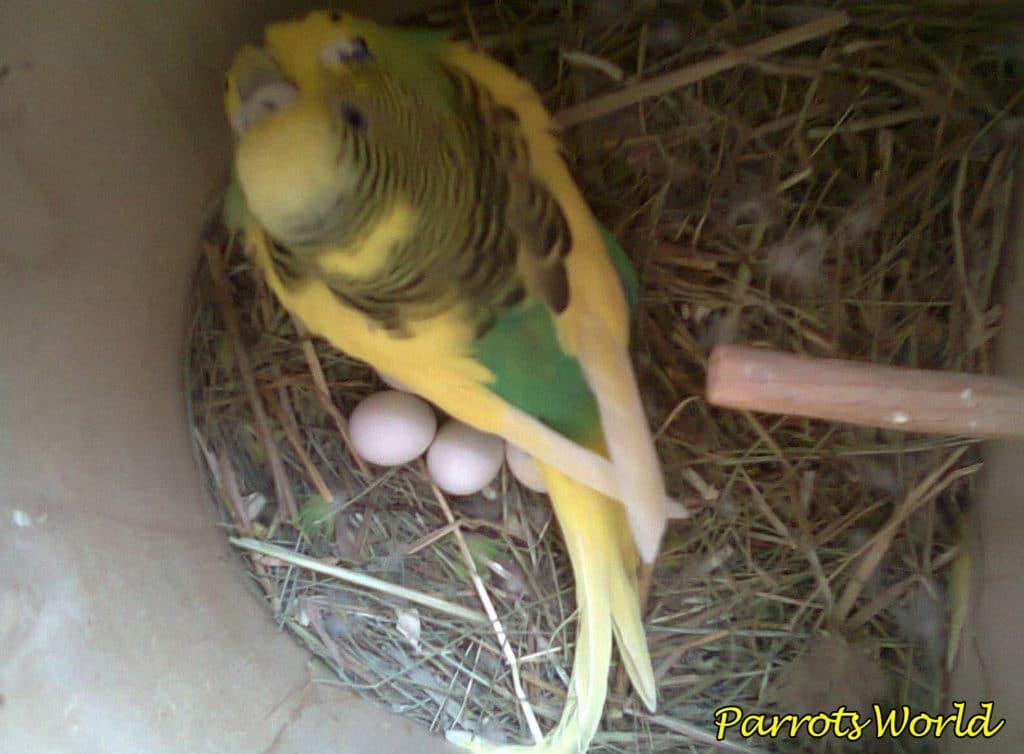 Размножение волнистых попугаев: от выбора пары до появления птенцов