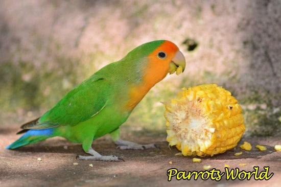 Уход и содержание попугаев неразлучников в домашних условиях