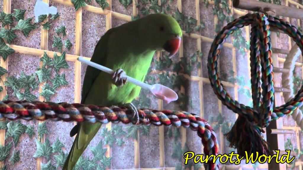 Ожереловый попугай: описание, виды, условия содержания