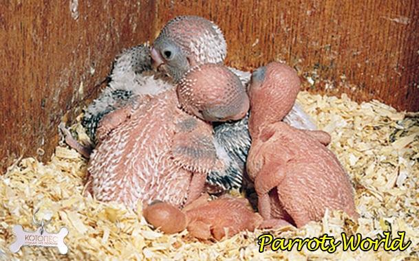 Разведение попугаев в домашних условиях: все этапы разведения
