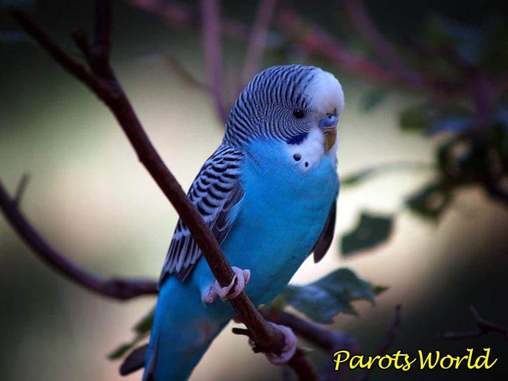 Как определить возраст волнистого попугая: способы определения возраста