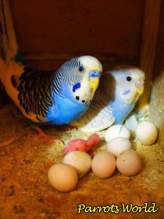 Как понять что самка волнистого попугая беременна
