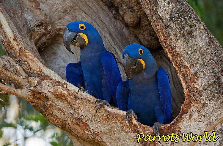Гиацинтовый ара: характер, ареал проживания, питание, срок жизни