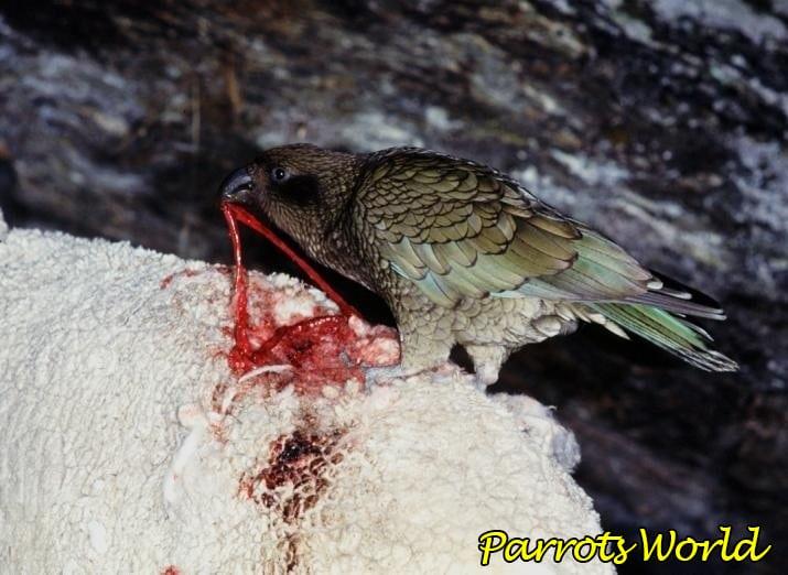 Хищный попугай кеа: ареал обитания, образ жизни, питание и размножение