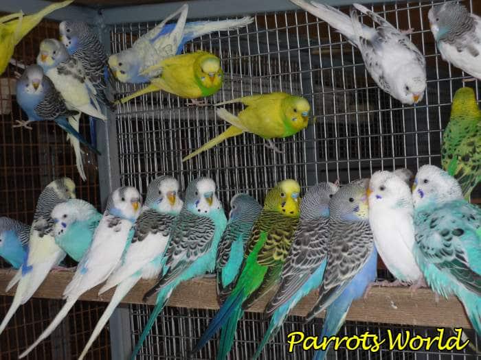 Как выбрать волнистого попугая: подготовка, выбор птицы, адаптация