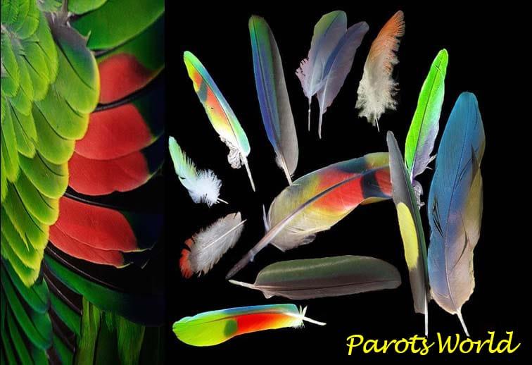 Выпадение перьев у попугая: почему у попугая выпадают перья?