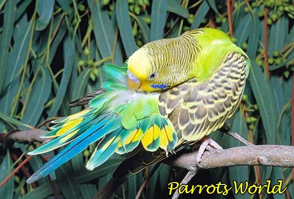 Почему попугай чешется: естественные причины и симптомы заболеваний