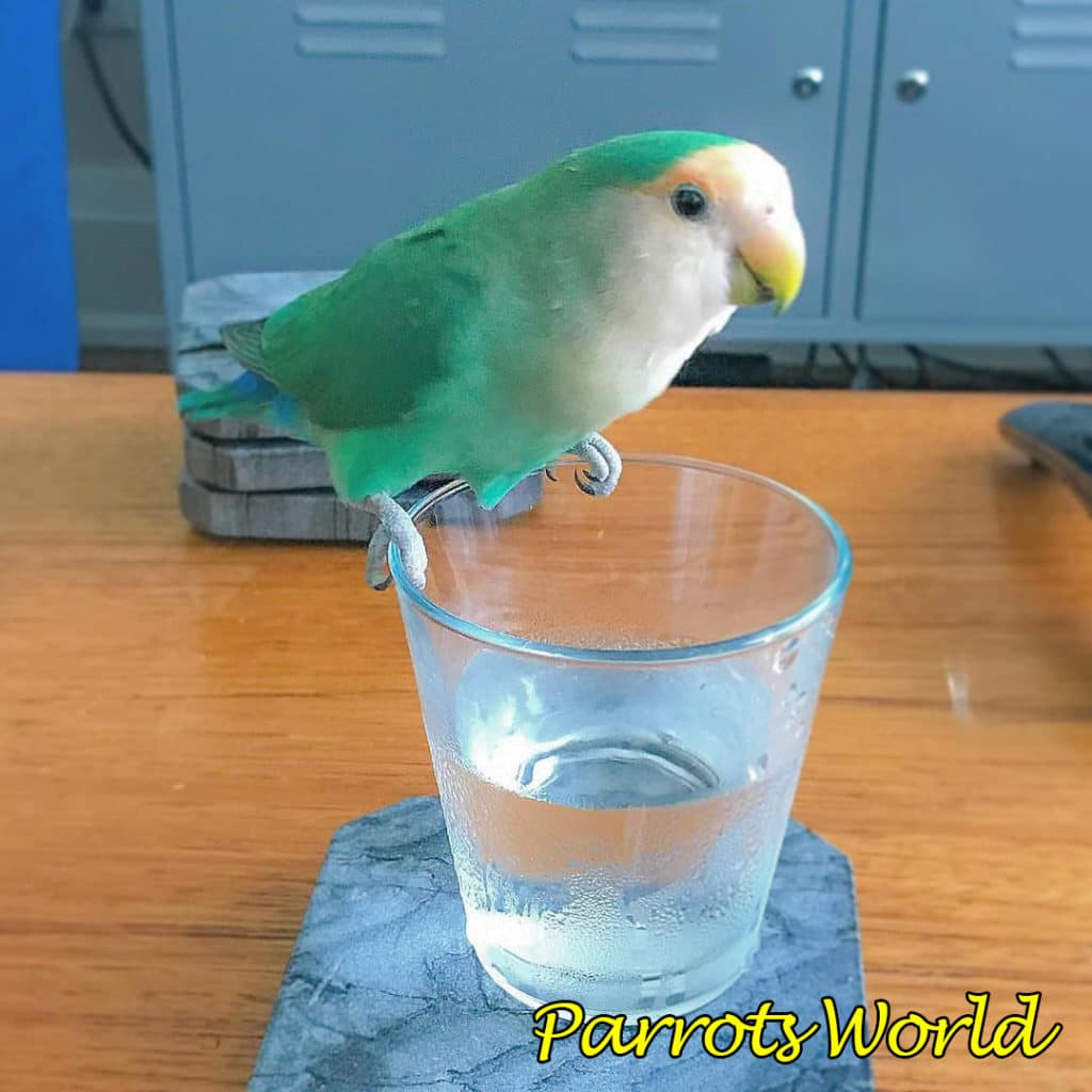 Неразлучник на стакане с водой