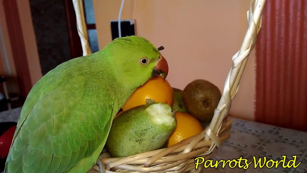 Ожереловый попугай ест фрукты