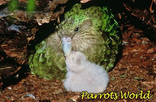 Попугай какапо с птенцом
