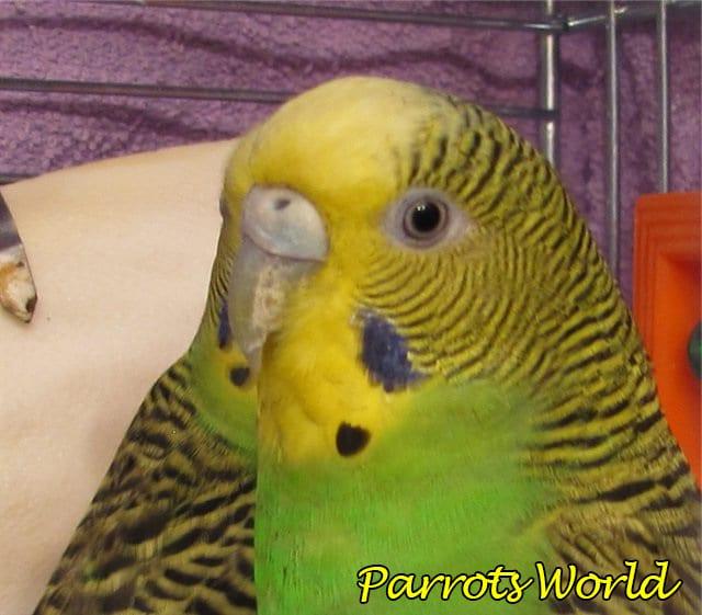 Болезни клюва у попугаев: причины, симптомы, лечение