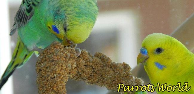 Попугаи едят чумизу
