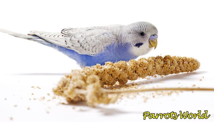 Попугай ест чумизу