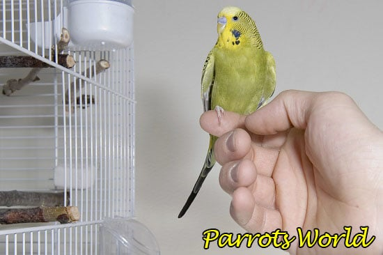 Волнистый попугай на пальце