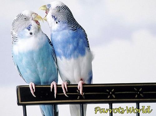 Болезни лап у попугаев: симптомы, лечение