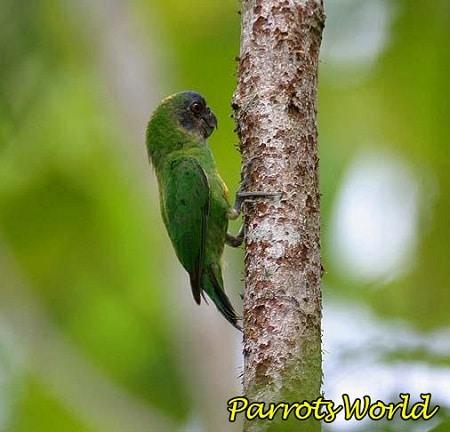 Дятловый попугайчик