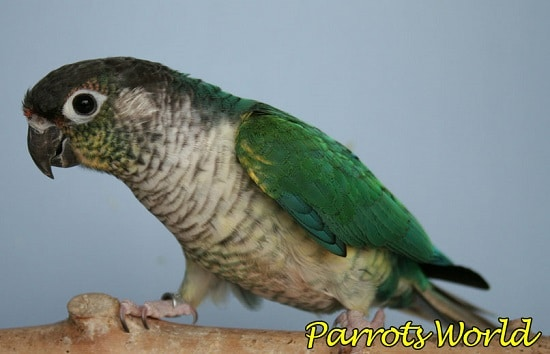 Попугай пиррура