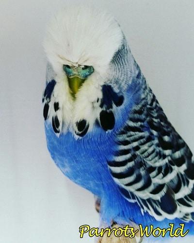 Бело-синий чех