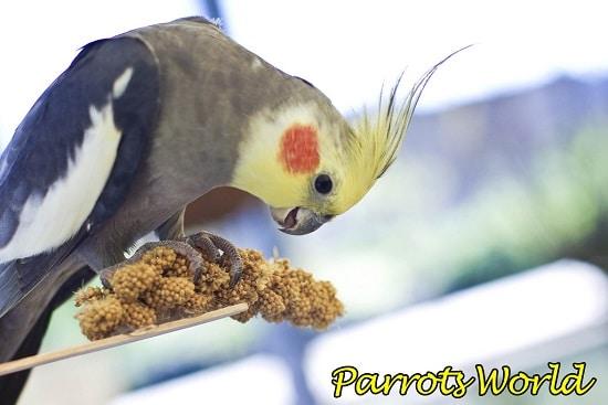 Корелла ест чумизу