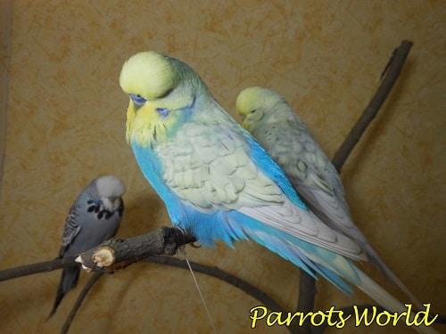 Выставочные попугаи чехи