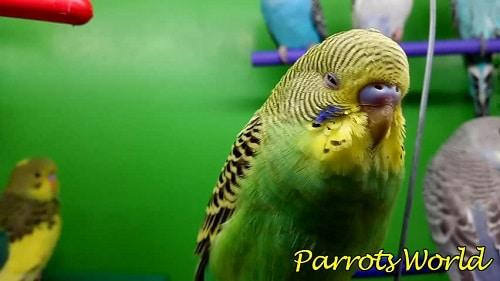 Попугай плохо себя чувствует