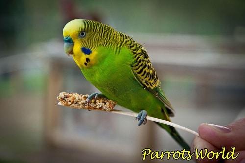 Попугай чихает