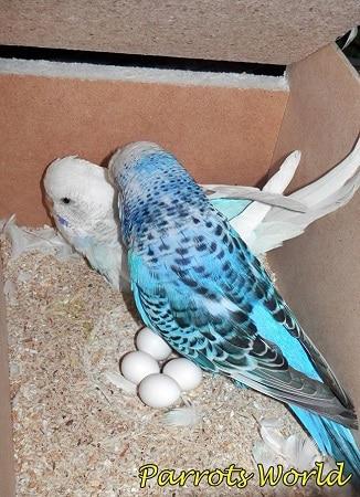 Самец и самка волнистых попугаев с яйцами